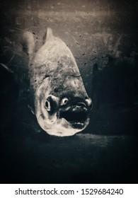 Fish piranha closeup, black and white. Scary nature background.