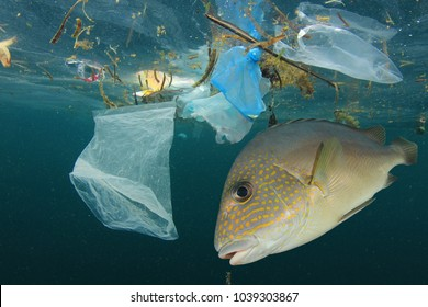 Fish and plastic pollution. Envrionmental problem - plastics contaminate seafood