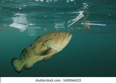 Fish and plastic pollution in sea. Microplastics contaminate seafood.