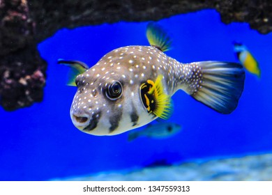Fish a pufferfish swims in blue water on a background of corals. Fish of the red sea. Blowfish close-up.