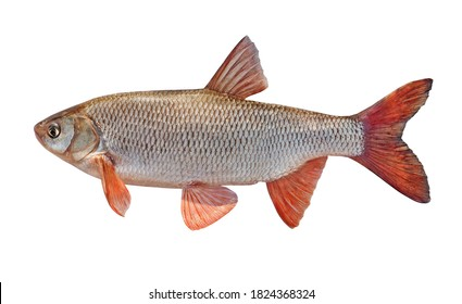 Fish with red fins. freshwater fish ide isolated on a white background. Live fish