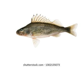 Fish ruff (Gymnocephalus cernuus) isolated on white background