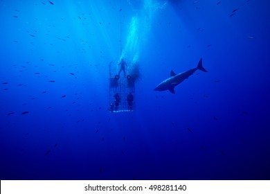 Fish rush to the cage where the fresh scent of dead fish has just been released into the water.  The great white shark is the primary subject; sardines are the real winners since the pieces are small