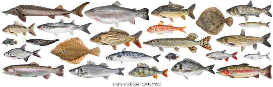 Fish set isolated. Collection fresh raw fish. Sea and freshwater fish