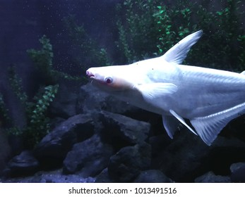 Fish shark pangasio in freshwater aquarium