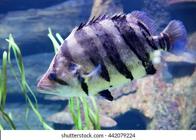 Fish Siamese tigerfish Vertical black stripes on a yellow background, a ferocious temper notorious predators - the tigers of the underwater jungle. Distribution: South-East Asia.