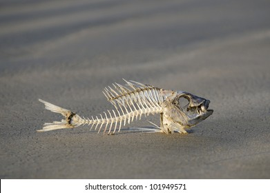 A fish skeleton carcass laying on a beach. No people. Copy space