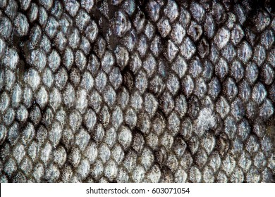 Fish skin scales detailed macro texture pattern (trout)