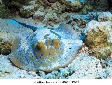 Fish stingray on the sea bed.