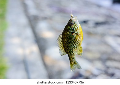 fish, sunfish, caught on the hook of the fishing rod, Lepomis gibbosus