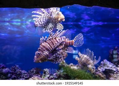 Fish swim in the aquarium. Ocellaris clownfish. High quality FullHD footage