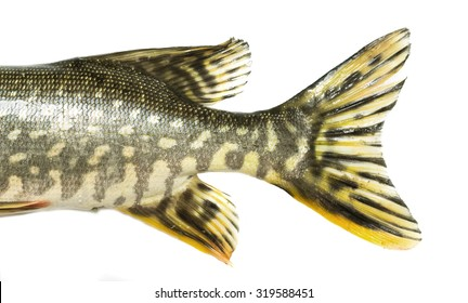 fish tail pike on a white background