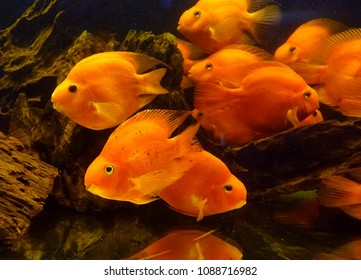 A fish tank with tropical blood parrot cichlid fish