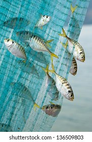 The fish that are nets.