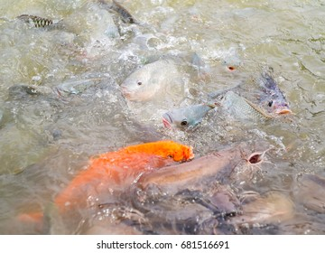 A Lot of fish (Tilapia, Carp, Cat fish) swimming and waiting for food in the pond. Many of Thai fish eat swarm on water surface in nature. - Feeding animals concept.