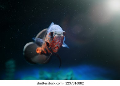 Fish under the bright rays of the sun. Predatory fish among the bubbles in the aquarium. Astronotus-Oscar, cichlid.