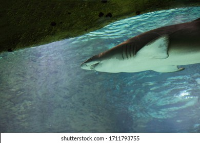 Fish under water. Great white shark, Carharodon Carcharias