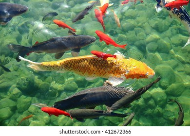 Fish in the urban ecological pond in Brescia, Italy