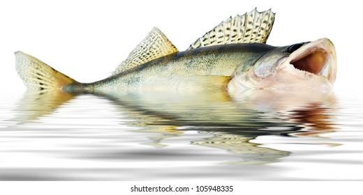 fish walleye zander reflections of the wave