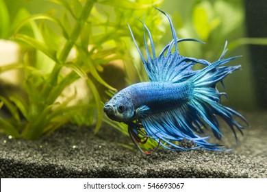 Fish Warrior blue.