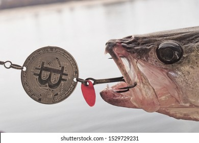 Fish Zander or Pike Perch Fish.     Close-up. Predatory freshwater fish.Blessings from Bitcoin coin