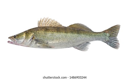 Fish Zander or Pike Perch Fish, isolated on a white background. Close-up. Predatory freshwater fish