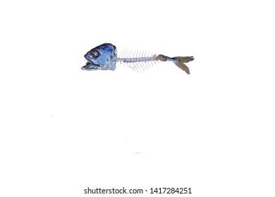 Fishbone isolated white background.Mackerel pattern Blank input text.