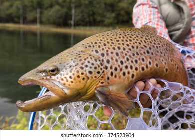 Fished brown trout