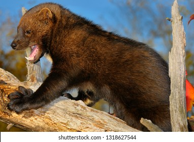 Fisher climbing a dead tree showing large teeth and five sharp retractible claws