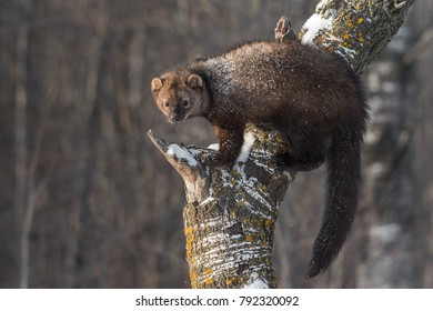 Fisher (Martes pennanti) Balances on Tree Trunk - captive animal