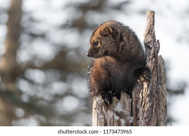 Fisher (Martes pennanti) Close Up in Tree - captive animal