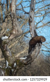 Fisher (Martes pennanti) Hangs Out in Winter Tree - captive animal