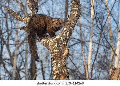 Fisher (Martes pennanti) Hunched Up in Tree Winter - captive animal