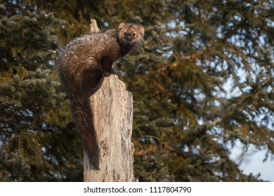 Fisher (Martes pennanti) Looks Back and Left From Tree - captive animal