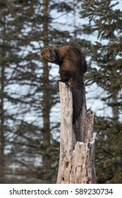 Fisher (Martes pennanti) Looks Over Shoulder Atop Hollow Tree - captive animal