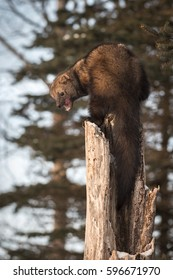 Fisher (Martes pennanti) Mouth Open Atop Hollow Tree - captive animal