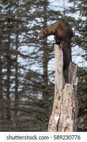 Fisher (Martes pennanti) Perches Atop Hollow Tree - captive animal