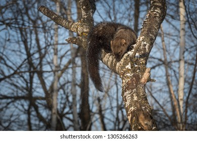 Fisher (Martes pennanti) Sniffs Down Tree Winter - captive animal