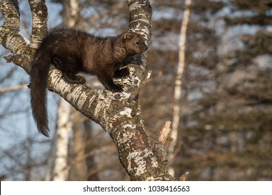 Fisher (Martes pennanti) Stands in Crook of Tree - captive animal