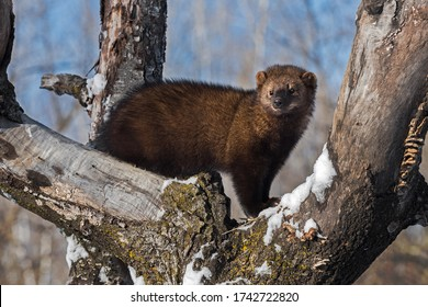 Fisher (Martes pennanti) Stands Up Tall In Tree Winter - captive animal
