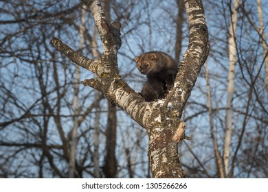 Fisher (Martes pennanti) Stares Out from Crook of Tree Winter - captive animal
