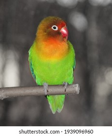 A fisheri's lovebird a cute colorful small parrot