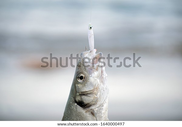 Fisherman catches a Bass fish at the seashore in Campoamor Spain. Bass hooked at a fishing lure. Close up view of Bass fish catched at the seashore.
