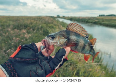 Fisherman caught a perch. Fishing spinning in fresh water.