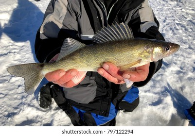 Fisherman caught a Wisconsin Walleye while ice fishing