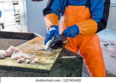 Fisherman cleaning and filleting a fresh caught saltwater fish on the board of deep sea fishing boat at Norwegian sea.