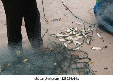 Fisherman collects mackerels from fishing nets in the morning, Mackerels caught from Gulf of Thailand