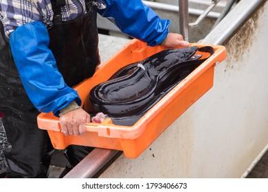 Un pêcheur livrant du poisson frais de la mer dans un plateau orange des Pouilles, Portugal