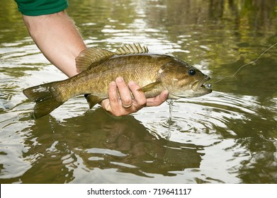 Fisherman displaying a freshly caught smallmouth bass in his hand above the water of the river in a side view