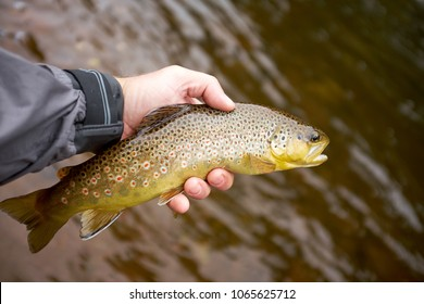 Fisherman displaying a landed brown trout in his hand above brown river or lake water on a fly fishing trip
